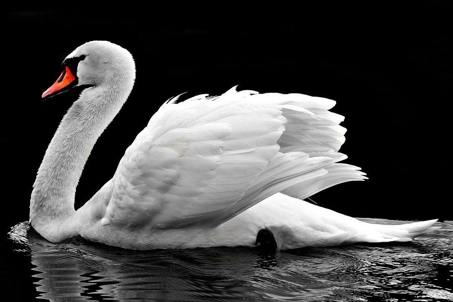 Biały łąbędź płynący po tafli czarnej wody na czarnym tle