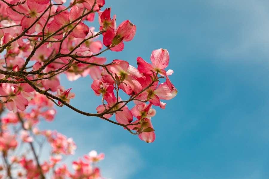 zdjęcie przedstawia kwitnące drzewo
