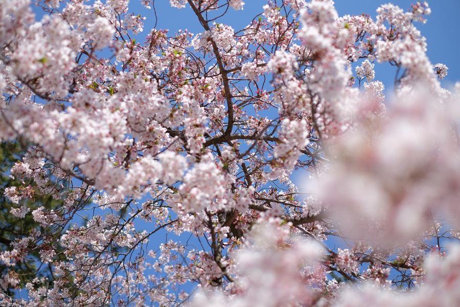kwitnące drzewo wiśni