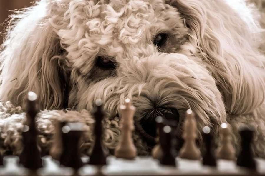 pies leżący przy szachownicy