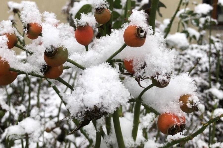 fragment krzewu różyczki ogrodowej z czerwonymi owocami i zamarzniętymi kwiatami na tle śniegu