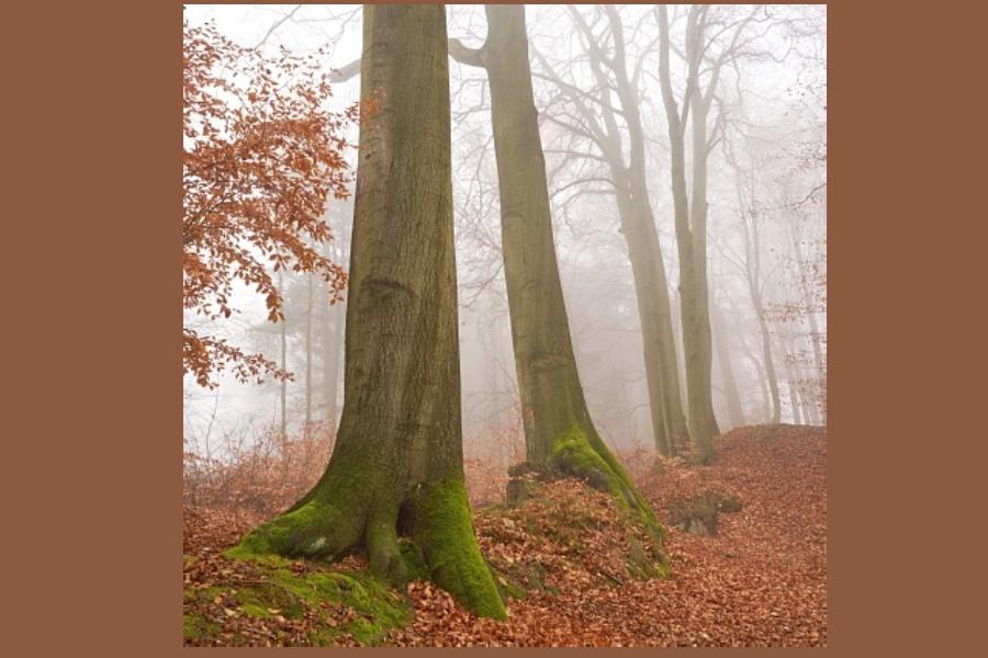 pejzaż jesienny - buki we mgle