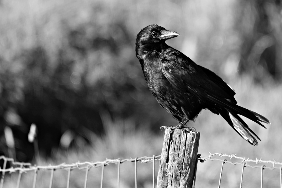 wrona siedziąca na drewnainym słupie