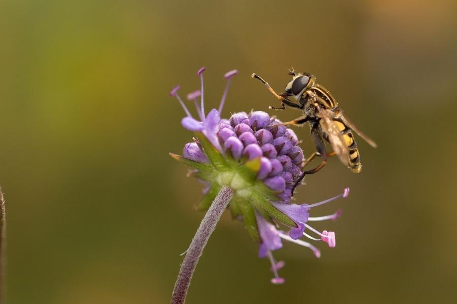 Pszczoła pijąca nektar z kwiatka