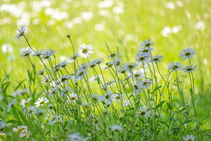 wiosenna łąką z kwitnącym rumiankiem