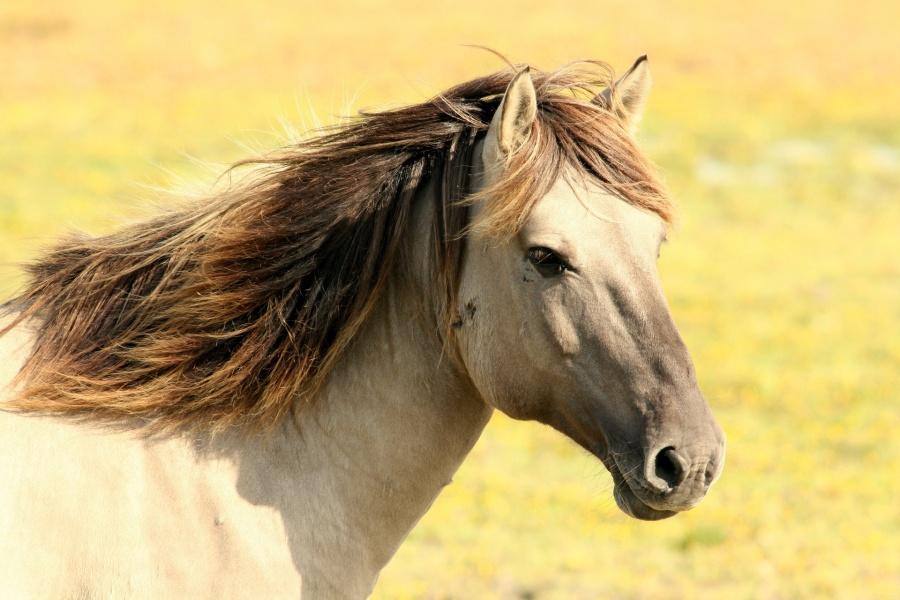 Głowa konia o beżowej maści i brązowej grzywie zwrócona w prawą stronę na jasno zielonożółtym trawiastym