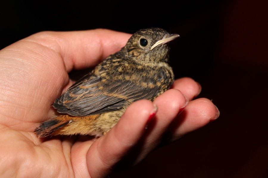Rdzawobrązowy mały ptak na dłoni ludzkiej na czarnym tle