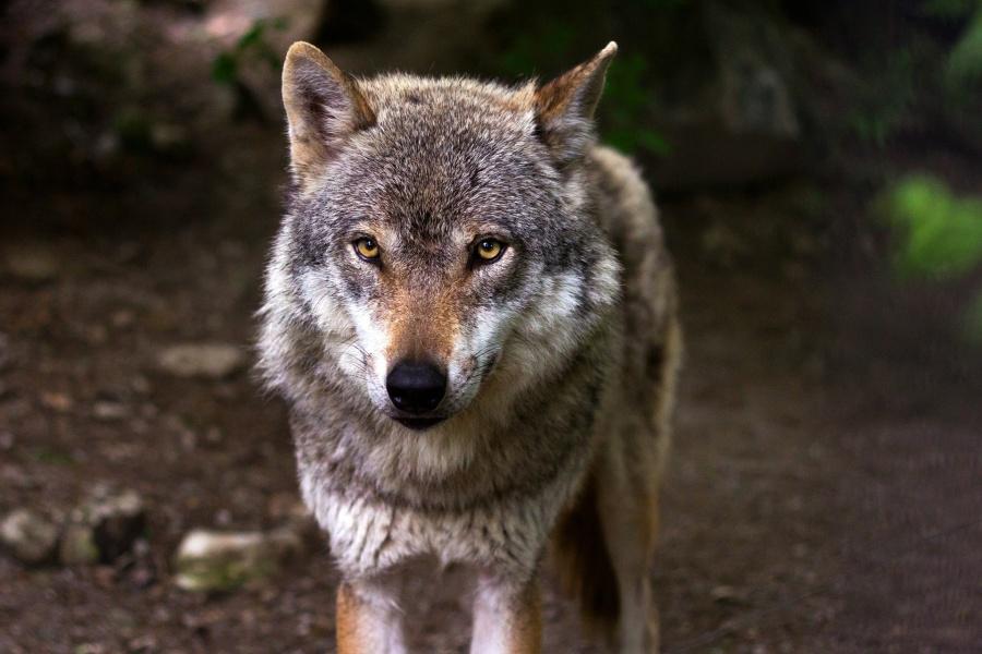Szarobury wilk zwrócony pyskiem do oglądającego na tle rozmazanego lasu