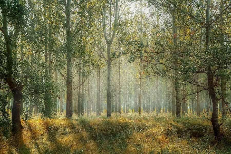 Zielonozolty-niezbyt-gesty-las-lisciasty-poprzetykany-jasnymi-promieniami-slonca-rosnacy-na-mdlawozoltej-trawie