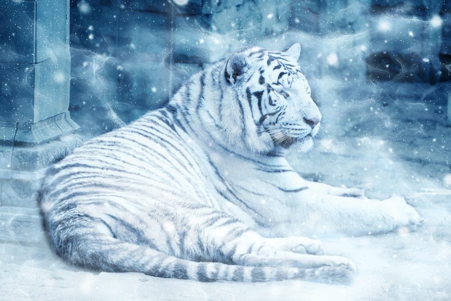 zdjęcie przedstawia leżącego tygrysa