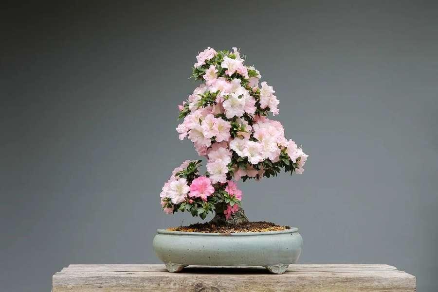 kwitnące drzewko bonsai