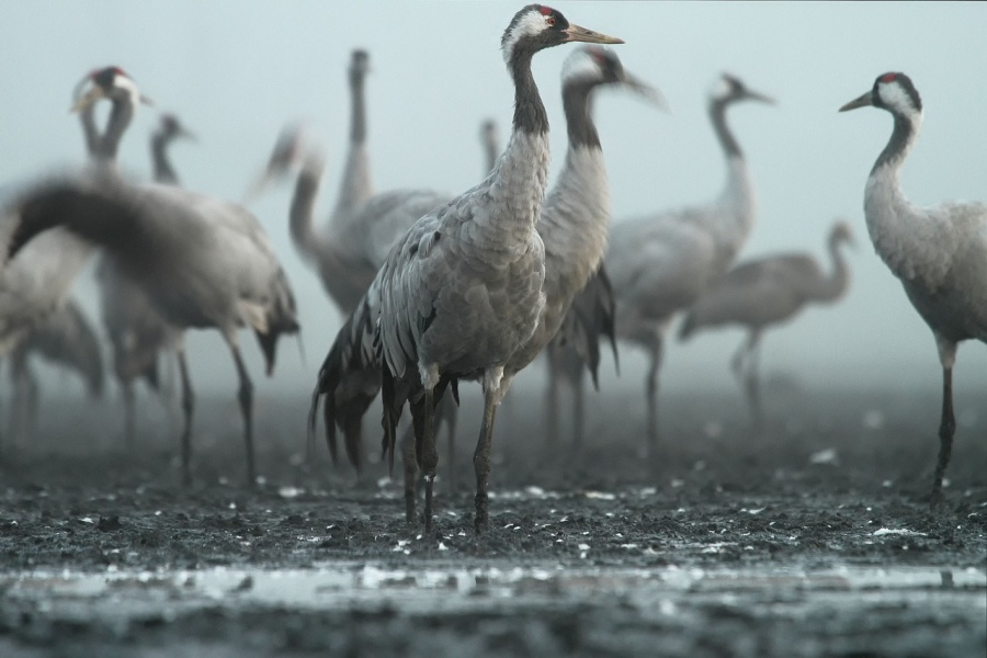 Żurawie – stado żurawi na polu we mgle