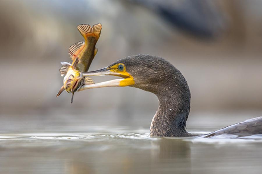 kormoran z rybą w dziobie