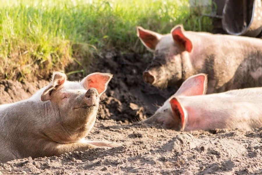 trzy świnki leżące w piachu